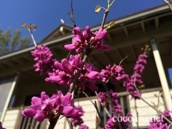ログハウスとライラックの花