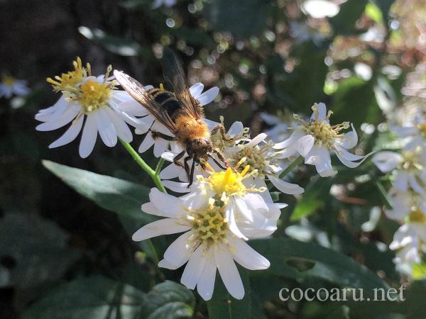 庭の野花と蜂
