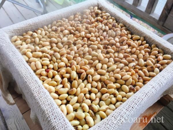 自家製米麹でお味噌を手作り:大豆が蒸しあがってきた!